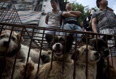 Chine: 10.000 chiens vont être abattus à Yulin lors du festival de la viande
