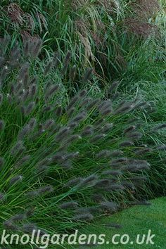Pennisetum Red Head | Knoll Gardens | Ornamental Grasses and Flowering Perennials
