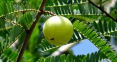 Ancient Remedies Research from multiple dental colleges has confirmed that an ancient Ayurvedic herbal remedy called Triphala helps prevent dental decay by reducing oral bacteria that cause plaque, gum disease and tooth decay. Home Remedies For Uti, Uti Remedies, Natural Home Remedies, Herbal Remedies, Nutrition Tracker App, Nutrition Classes, Food Nutrition, Amla Juice Benefits, Health Benefits