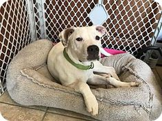 Pictures of Primo (MD) a Labrador Retriever/Pit Bull Terrier Mix for adoption in New York, NY who needs a loving home.