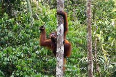 Mama orangutan at the Semenggoh Wildlife Centre in Sarawak near Kuching