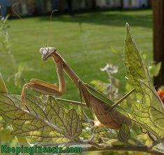 Chinese Mantis praying mantis   Keeping Insects