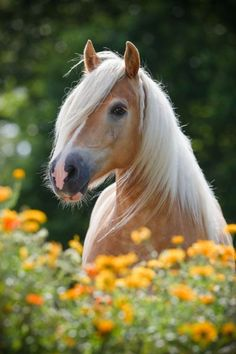Beautiful Halflinger golden horse in the flowers.  ~ I want one :)