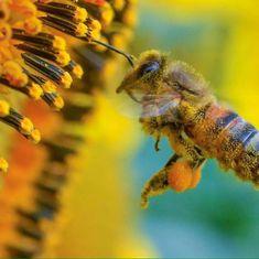 Con polen y polinizando girasol - With pollen and pollinating sunflower.