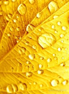 Bright yellow leaf with droplets