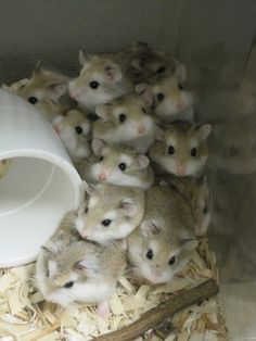 These look like half-hamster, half-gerbil creatures. They're really fat like hamsters but they have gerbil faces…  Roborovski hamster~