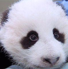Giant Panda Baby Animals Giff #9781 - Funny Panda Giffs| Funny Giffs| Panda Giffs