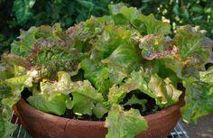 13 Jenis Sayuran Ini Cepat Tumbuh Dan Cepat Panen. Cocok Dibudidayakan Oleh Pemula