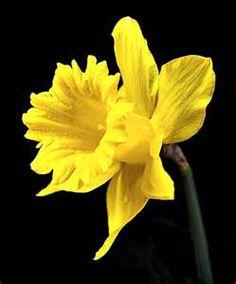 Daffodil drama