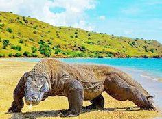 Komodo Island (komodo Dragon), Indonesia :-)