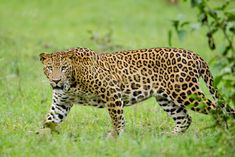 Indian Animals: A Guide to 40 Incredible Indian Wildlife Species, including Big Cats in India, Birds In India, Mammals in India, Indian Snakes, Indian Lizards, Indian Reptiles & more! via @GreenGlobalTrvl #IndianAnimals #IndianWildlife #IndianAnimalsPhotography #WildlifeofIndia #Tiger #AsianElephant #IndianNaturePhotography Cheetah, Jaguar Leopard, Asiatic Lion, Indian Animals, Wildlife Of India, Fun Facts For Kids, Panthera Pardus, Clouded Leopard, Gatos