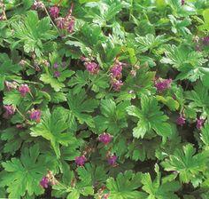 Tuoksukurjenpolvi, Geranium macrorrhizum  Helppohoitoinen, leviää nopeasti, tuoksuvalehtinen maanpeite- ja reunuskasvi rinteeseen, kukkaryhmään, puiden ja pensaiden alle.  -The entire plant has a lovely fragrance