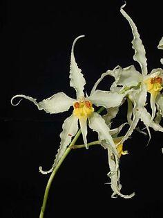 Odontoglossum cirrhosum - White-Petaled Variety