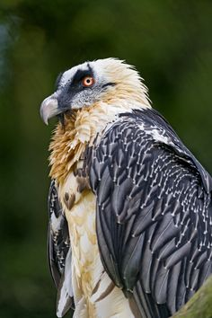 Profile of a bearded vulture | Flickr - Photo Sharing!