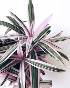 Pink and green plants: the girliest of them all. But they're so soothing to look at! Cool Plants, Green Plants, Tropical Plants, Calathea Triostar, Plantas Indoor, Belle Plante, Decoration Plante, Plant Aesthetic, Pink Plant