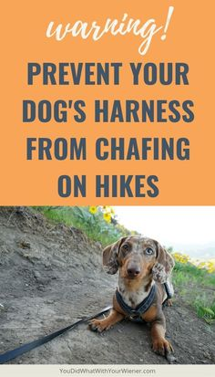 Is Your Dog Active? Beware of Harness Chafing – Be sure to recognize the problem… Is your dog active? Beware of scrubbing – Make sure you have identified the problem before it's too late. Agility Training For Dogs, Dog Agility, Dog Training Tips, Dog Health Tips, Dog Health Care, Baby Health, Disabled Dog, Hiking Dogs, Dog Safety