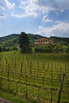 Vinyards in waiting - Padova, just out of the city