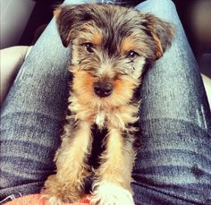 Looks like my girl Lilly Bell. (Schnauzer/Yorkie mix)