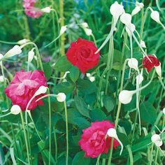 Garlic Full sun Repels aphids Can grow around roses