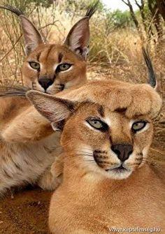 Foto Wild Animals In Africa Funny Wild Animals Desert Animals Cute Animals