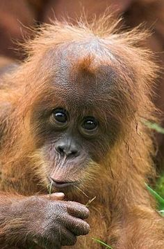 I know mt hair is a bit wild but DAME it is funny Monkey Pictures, Animal Pictures, Beautiful Creatures, Animals Beautiful, Cute Baby Animals, Funny Animals, Los Primates, Types Of Monkeys, Baby Orangutan