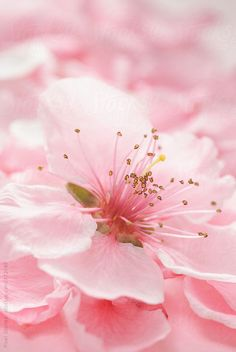 Pink Blossoms by Pixel Stories | Stocksy United