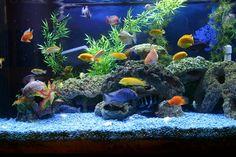 Cichlid fish tank