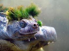 Mary River Kaplumbağası