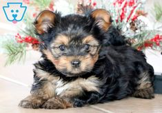 Clyde | Morkie Puppy For Sale | Keystone Puppies  #Morkie #KeystonePuppies