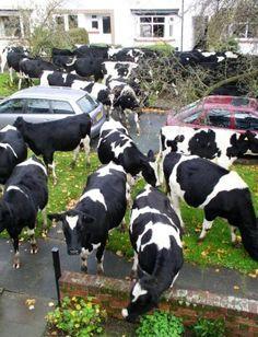 cows!!!! Ahhhhhhh!