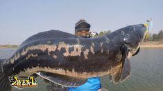 Huge Snakehead Caught | Fishing in Thailand #huge #snakehead #caught #fishing #thailand #video #asia