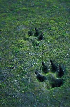 wolf, animal, and footprint image Half Elf, Solas Dragon Age, Howleen Wolf, Timberwolf, The Ancient Magus, Merian, She Wolf, Beast Boy, Big Bad Wolf