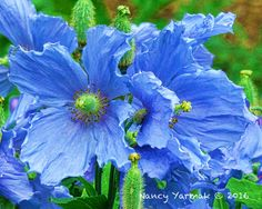 Blue Crepe - Digital Photograph of Himalayan Blue Poppy printed on either canvas or fine art paper Blue Poppy, Himalayan, Fine Art Paper, Poppies, Photograph, My Arts, Printed, Canvas, Digital