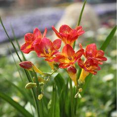 2 Freesia Fresh Bulbs (Not Seeds), Rhizome Flower | Lily Colors Available Radiata Potted Plants Seasons Indoor Bonsai Garden DIY Cecor
