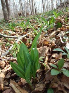 【ギョウジャニンニク】 4月下旬から5月上旬にかけて、ミズナラ等、広葉樹の落ち葉が堆積した、腐葉土の多いところに群生