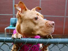 TO BE DESTROYED - 02/25/14  Manhattan Center    My name is REMY. My Animal ID # is A0992133.  I am a female tan and white pit bull mix. The shelter thinks I am about 1 YEAR    I came in the shelter as a STRAY on 02/21/2014 from NY 10451, owner surrender reason stated was STRAY Main thread: https://www.facebook.com/photo.php?fbid=762592633753618&set=a.152876678058553.-2207520000.1393206100.&type=3&theater