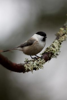 LOVE chickadees!!