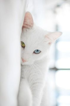 gorgeous white cat with different colored eyes