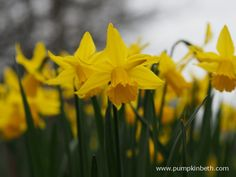Daffodils are such cheerful flowers, heralding the start of springtime. Here's some information on where you can find some super daffodil gardens & events. Cut Flowers, Yellow Flowers, Daffodils, Spring Time, Beautiful Gardens, Places To See, Bloom, Events, Planting