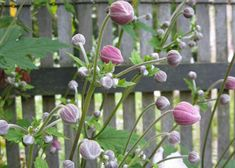 Anemone 'Ouverture'   Tuinen Mien Ruys