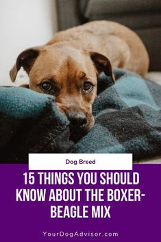 The boxer beagle mix, otherwise known as the boggle, bogle, or boxel, is the perfect combo of fun-loving, athletic, loyal, and sharp on their noses. #yourdogadvisor #dogsideas #dogs #boxer #beagle Rare Dog Breeds, Dog Breeds List, Cute Dogs Breeds, Best Dog Breeds, Small Dog Breeds, Pitbull Boxer Mix, Beagle Mix Puppies, Boxer Puppies For Sale, Puppy Mix