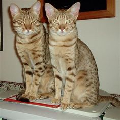 Domestic Cat Breeds, Ocicat, Spotted Cat, Kitten Photos, American Shorthair, Catus, Abyssinian, Cattery, Cool Cats