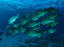 Bumphead parrotfish (Bolbometopon muricatum); Great Barrier Reef Marine Park, Queensland, Australia © Jurgen Freund / WWF-Canon