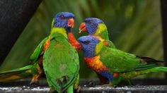 Free Image on Pixabay - Rainbow Lorikeet, Colorful, Birds Parrot Perch, Parrot Bird, Colorful Feathers, Colorful Birds, Animal Paintings, Animal Drawings, Wildlife Photography, Animal Photography, Bergen