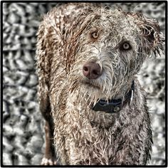 Dog, Labradoodle, Dogluvs, Pet, Animal