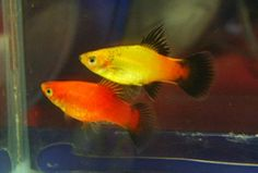Platy is a tropical freshwater fish that belongs to the same group or family of fish ( Peociliidae ) similar to the swordtail . Tropical Freshwater Fish, Freshwater Aquarium Fish, Aquarium Fish Tank, Aquarium Ideas, Fish Aquariums, Tropical Aquarium, Tropical Fish, Platy Fish, Fish Information