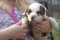 Olde English Bulldogge, Puppies For Sale, Windsor, Pitbulls, Dogs, Animals, Animales, Animaux, Pitt Bulls