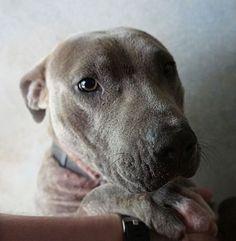 04/23/16-Henderson, NC - Pit Bull Terrier Mix. Meet Helley, a dog for adoption. http://www.adoptapet.com/pet/15343479-henderson-north-carolina-pit-bull-terrier-mix
