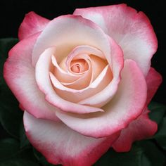 Nostalgia Hybrid Tea Rose - All About Flowers Nature, Pretty Flowers, Exotic Flowers, Purple Flowers, White Flowers, Rose Reference, Rose Pictures, Growing Roses, Coming Up Roses