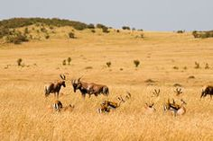 Red Hartebeest in the Masai Mara National Park.
